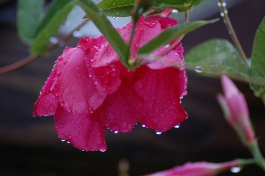 Flower AfterRain