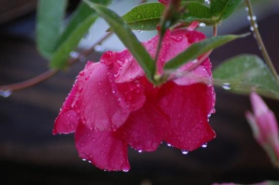 Flower After Rain2