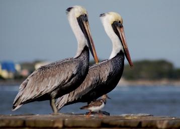 pelicans-1.jpg