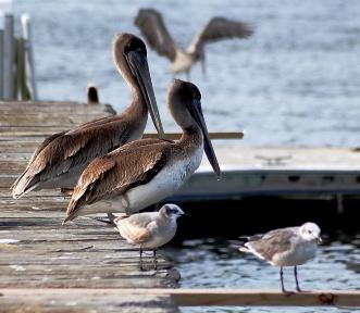 pelicans-2.jpg