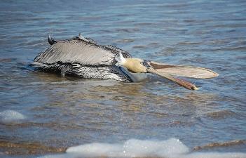 pelican-11.jpg