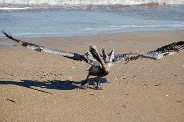 pelican-13.jpg
