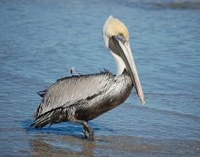 pelican-9.jpg
