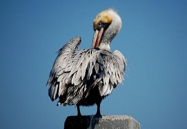 pelicanpost.jpg