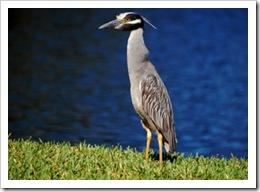 Pond Bird 4