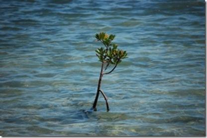 Baby Mangrove 2