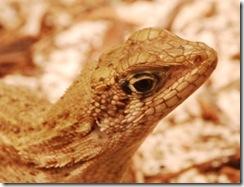 Lizard 23