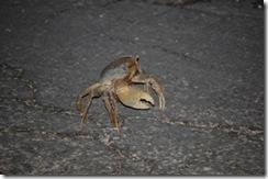 Road Crab