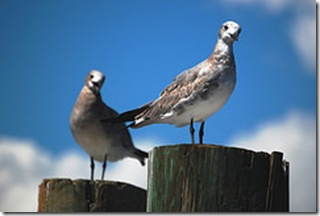 Gulls on Posts
