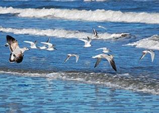 Flock o Seagulls