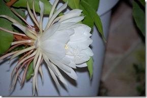 Cereus 5jpg
