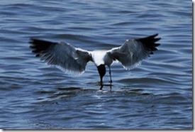 Seagull Pickup